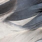 Fjädrar från trana