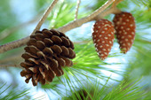 Pine cones hanging from branch