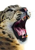 Snöleopard porträtt