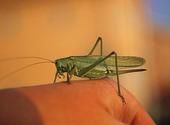Gräshoppa på hand