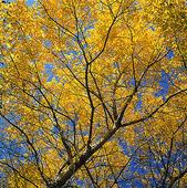 Lövträd