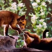 Uppstoppade rävar
