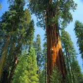 Träd, USA