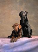 Labradorer
