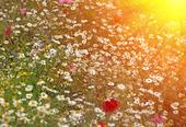 daisy blommor på våren i skymningen