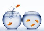 Guldfisk hoppa ur vattnet