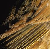 Fjäderdräkt på gulsparv